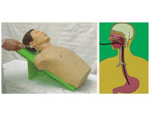 从喉到胃的食道结构图