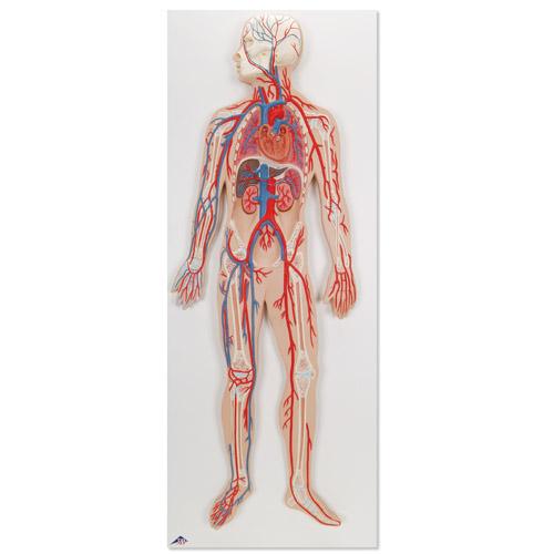 分享到:              功能心脏和血液循环系统模型         动脉